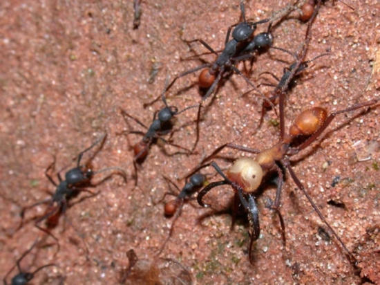Facts about Army ants