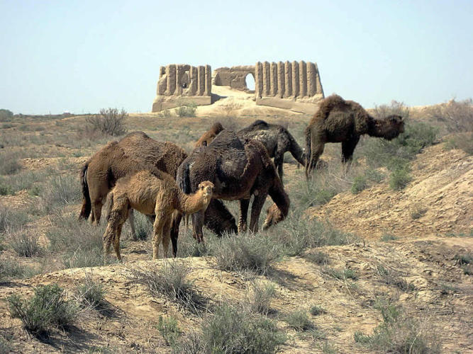 Picture of Camels in a desert