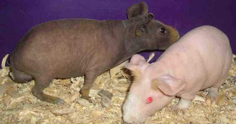 Picture of skinny pig
