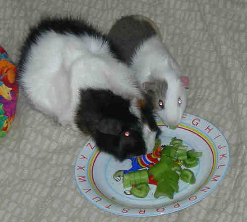 Picture of male guinea pigs