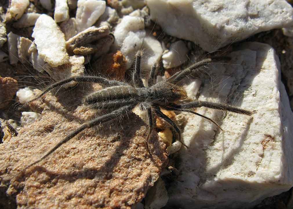 Camel Spider picture