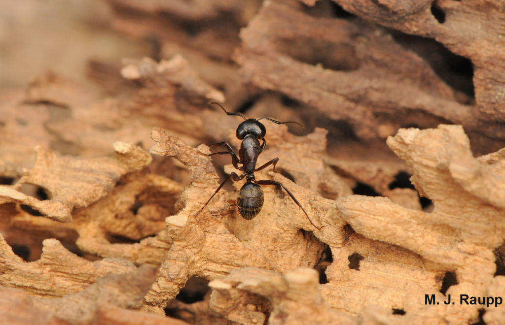 Largest animal structures- carpenter ant wood carving