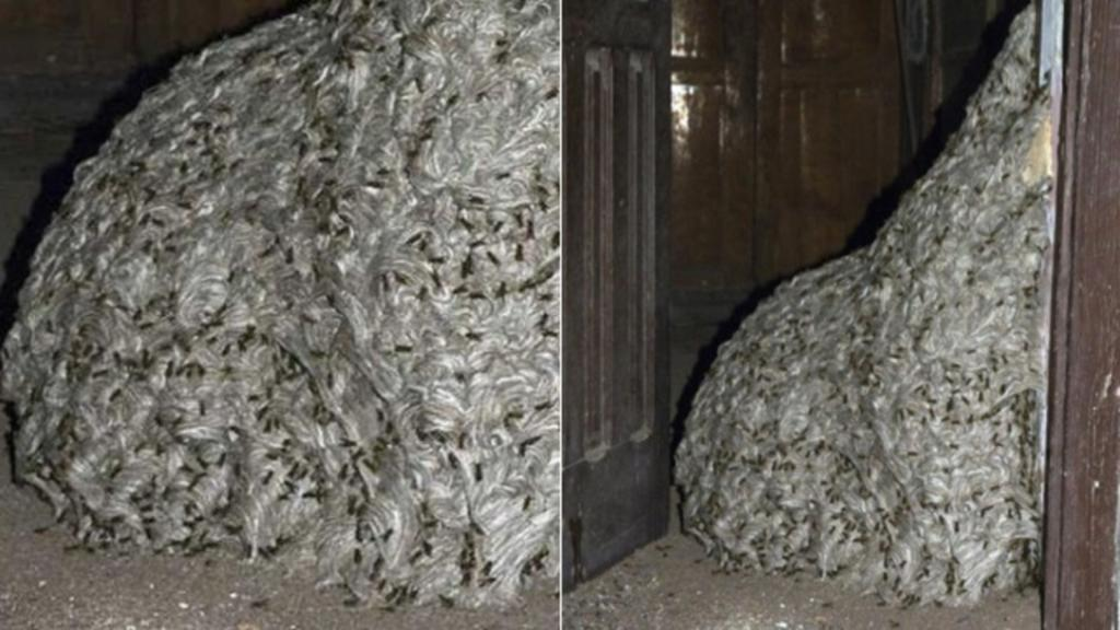 The largest animal made structures: the largest wasp nest
