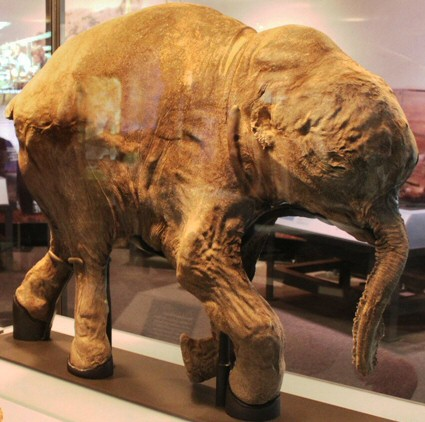 The most well-preserved mammoth
