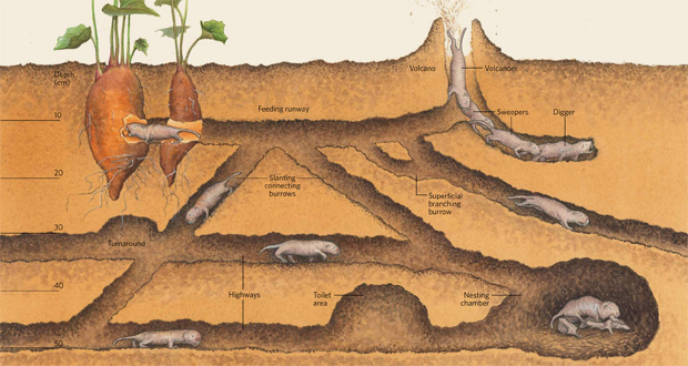 The largest structures constructed by animals: Naked mole-rat tunnel