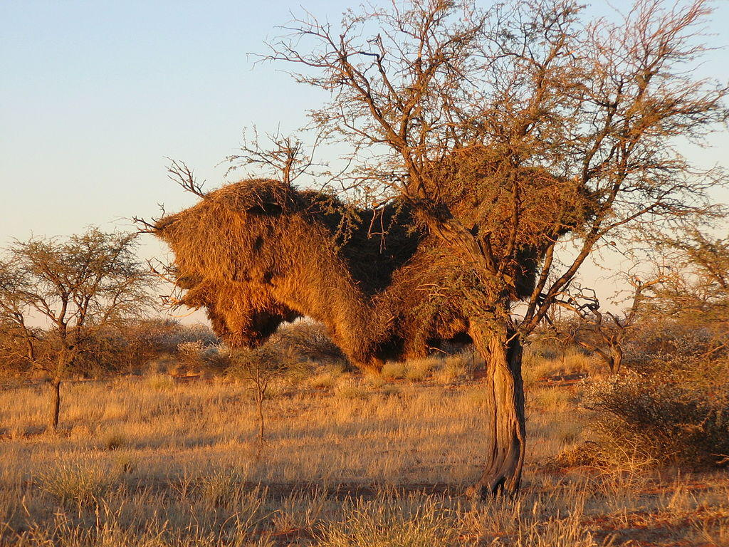 The largest structures built by animals: sociable weaver nest