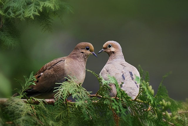 Facts about Mourning doves