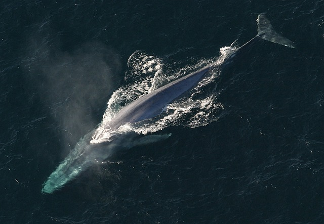 Facts about Blue Whales