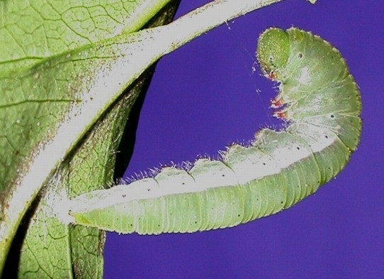 Caterpillar insects