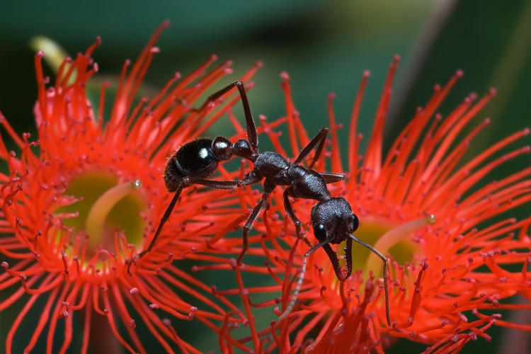 Facts about Bulldog Ants