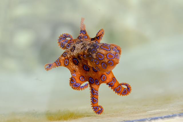 Blue-Ringed Octopus Facts