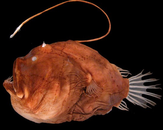 Anglerfish is a scary looking fish