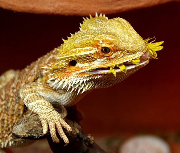 bearded dragons are omnivores