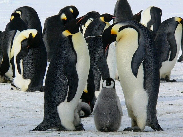 Group of penguins with chicks