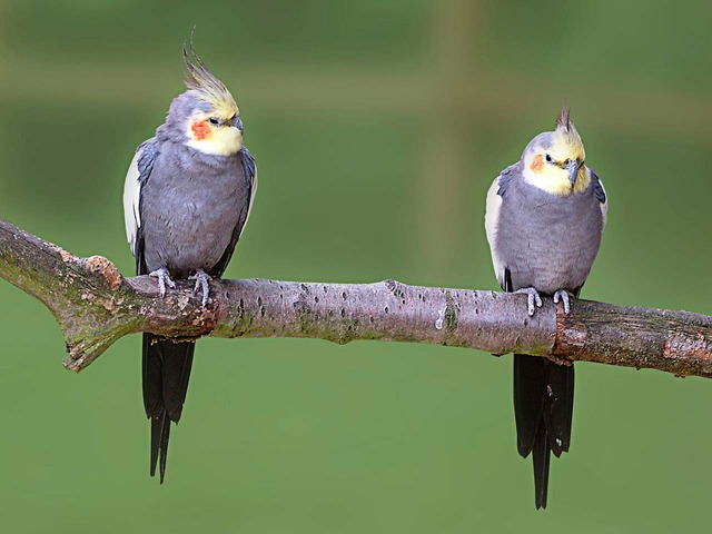 Male and female cockatiels look identical
