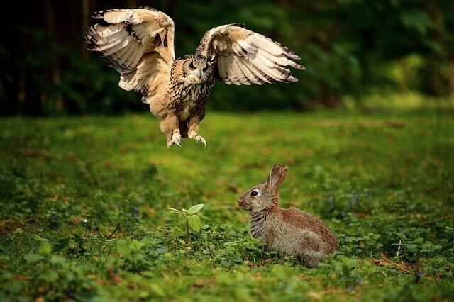 An owl is attacking a wild rabbit