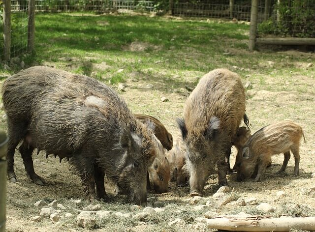 Image shows a group of wild boars