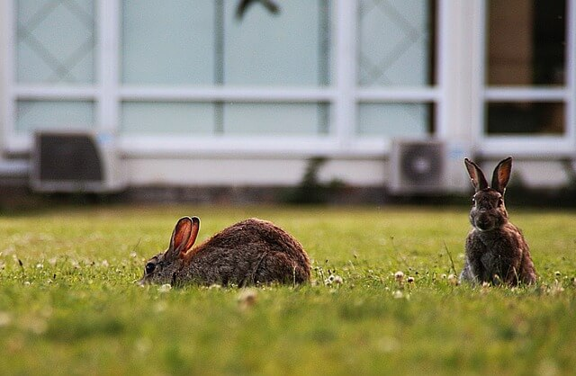 Wild rabbits on the lawn