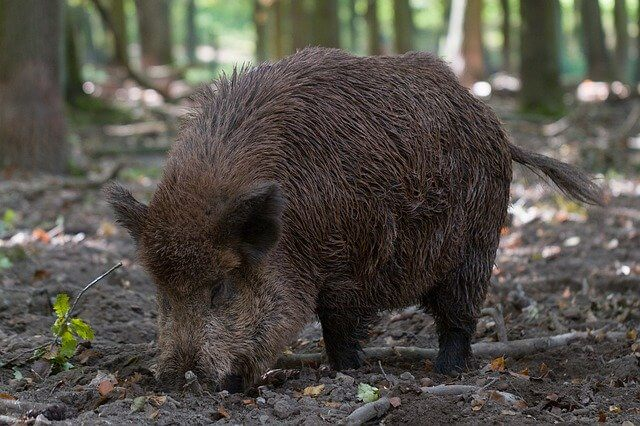A picture of wild boar digging a ground to  find its food