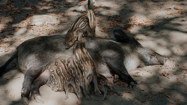 A picture of female wild boar with piglets