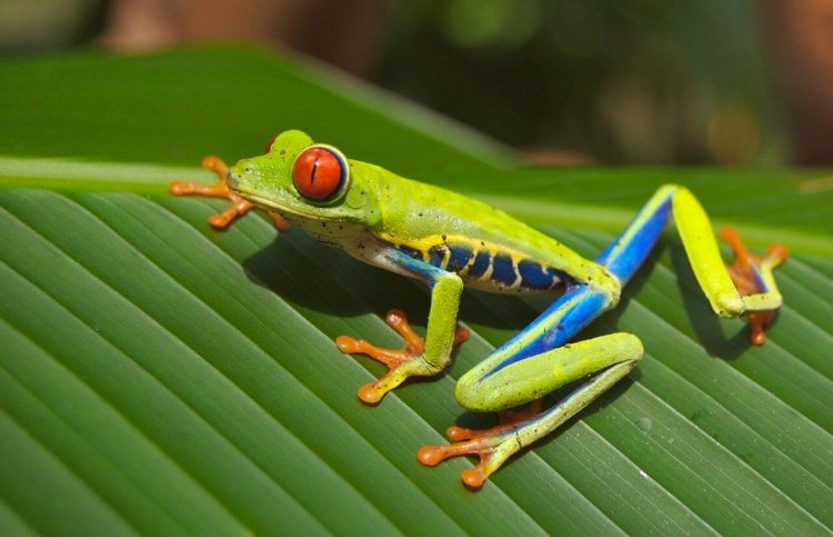 Facts about red eyed tree frogs