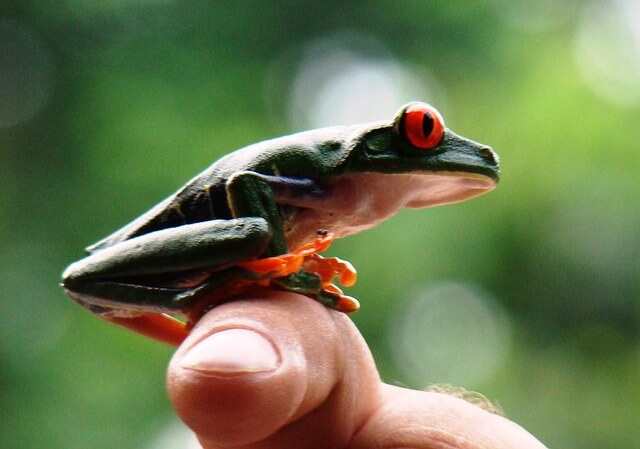 Picture of red-eyed tree frog