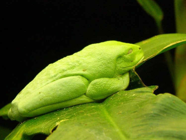 Red-eyed tree frog camouflage itself to hide from predators