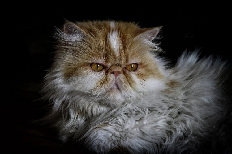 Facts about Persian Cats