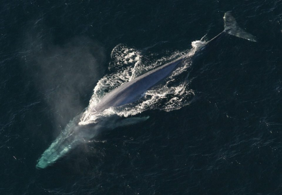 picture of a blue whale