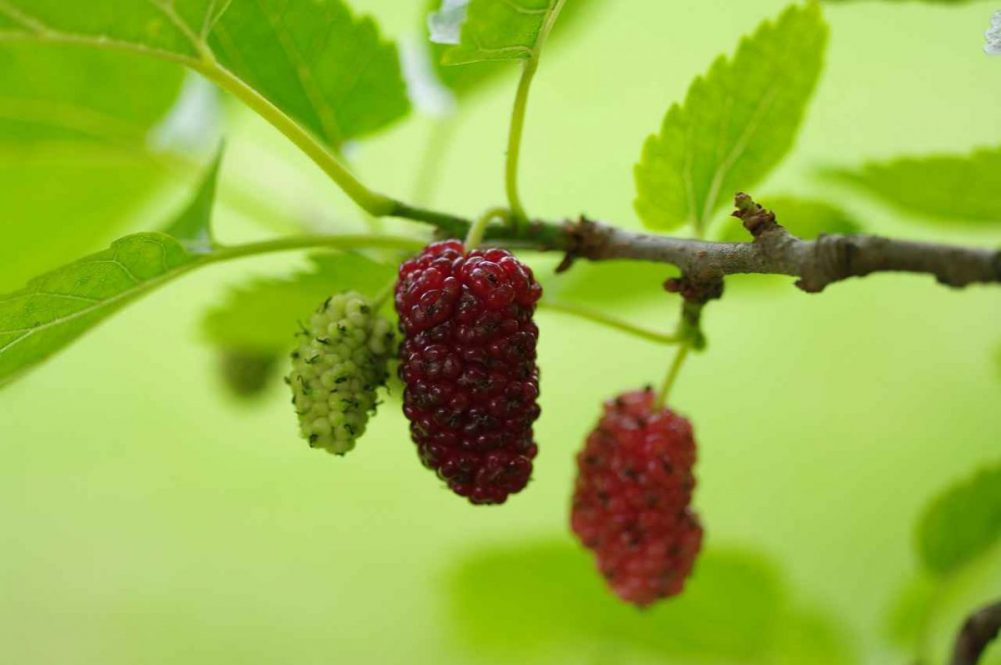 Facts about Mulberry Trees