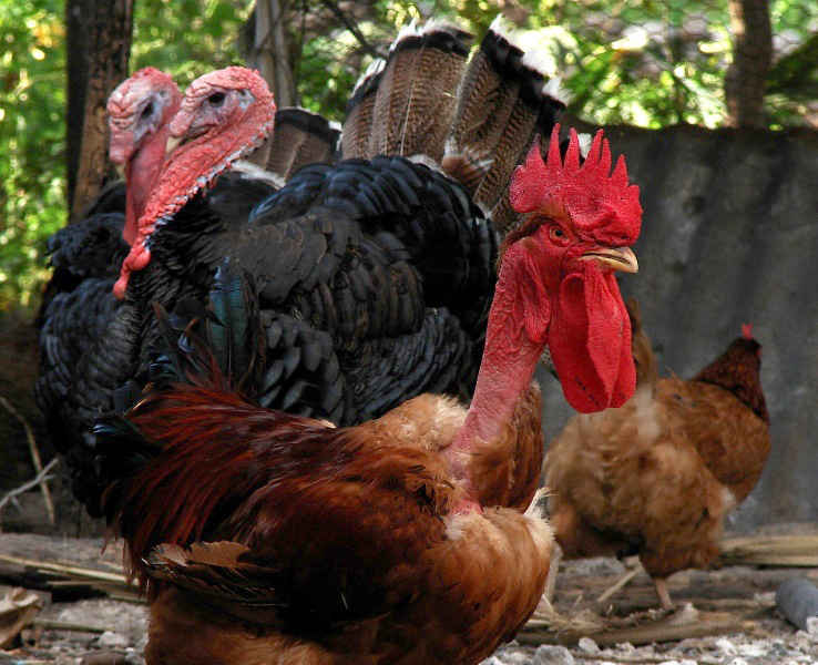 Turkens (Naked-Neck) chickens