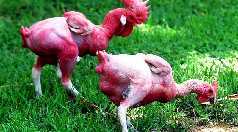 Naked chickens - Funny looking chickens